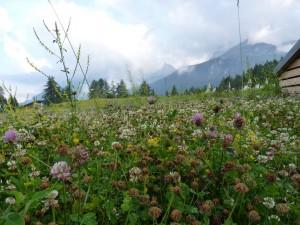 Blumenwiese Falzarego Pass - Dolomiten Höhenweg 1